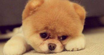 very-cute-pomeranium-teddy-bear-puppy-e1485108371375