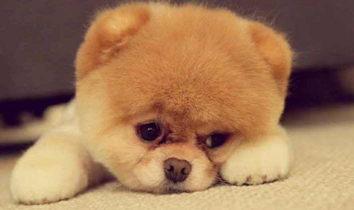 very-cute-pomeranium-teddy-bear-puppy-e1485108371375