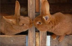 iepuri de casa