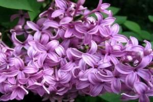 parfum de liliac